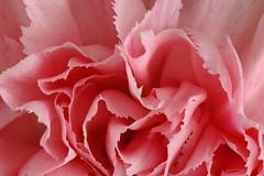 carnation, flower, plant, macro photography, flora, close-up, pink, petal,