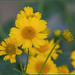 Brittlebush tribute
