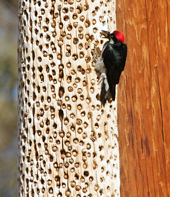 Acorn Woodpecker m.