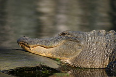 American Alligator - Photo (c) Ryan Somma, some rights reserved (CC BY-SA)