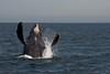 Humpback Breaching in Cabo San Lucas