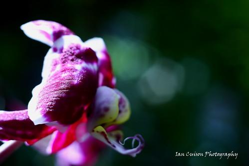 orchid flower canon photography photo dof photograph seoul southkorea botanicalgarden pinoy hbw bokhe canon40d happybokehwednesday vosplusbellesphotos snaketounge iancuison