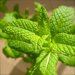 flower(0.0), produce(0.0), annual plant(1.0), shrub(1.0), leaf(1.0), spearmint(1.0), plant(1.0), lemon balm(1.0), herb(1.0), green(1.0),