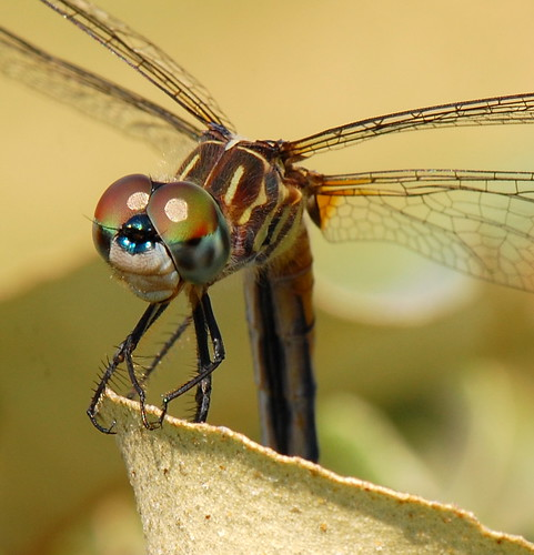 macro insect nikon dragonfly animalia arthropoda odonata insecta d40 nikon105mmvr epiprocta anipsoptera