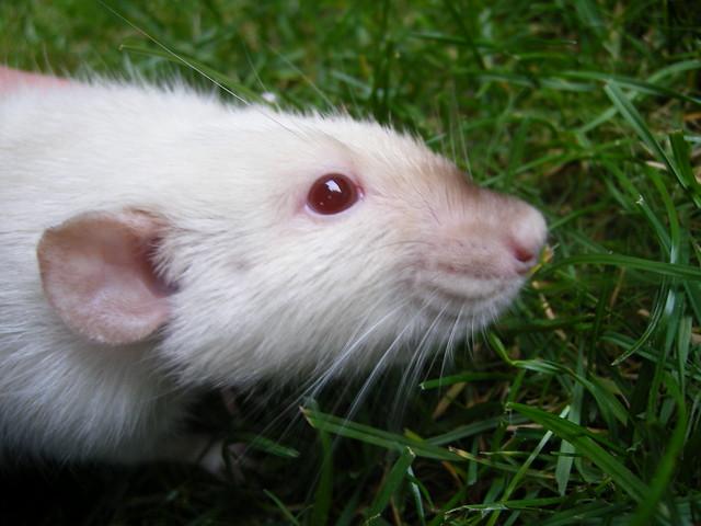 Himalayan rats