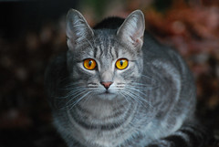 animal, tabby cat, small to medium-sized cats, pet, european shorthair, pixie-bob, fauna, american shorthair, close-up, cat, wild cat, carnivoran, whiskers, domestic short-haired cat,