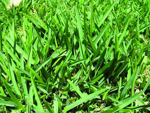 Mega aiuola 5mx10m con prato verde nel mezzo pagina 3 for Prato gramignone