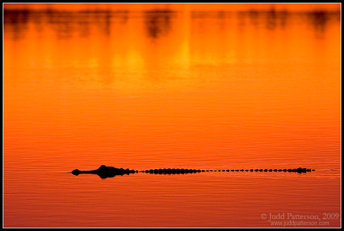 Alligator Sunset