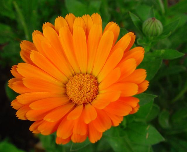 Flor Naranja De Dimorphoteca | Flickr - Photo Sharing!
