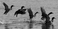 Ducks - B&W