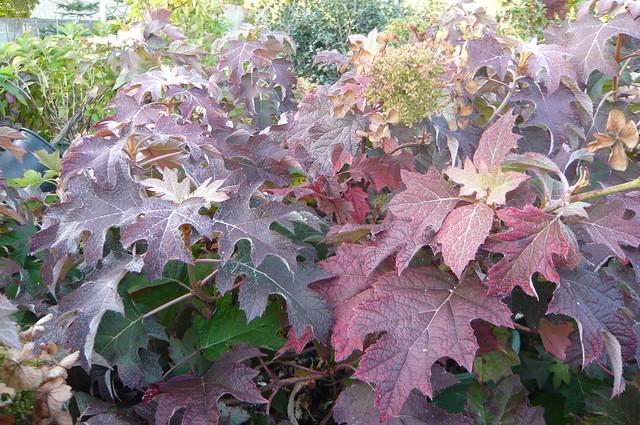 Oakleaf Hydrangeas Fall ColorOakleaf Hydrangea Fall Color