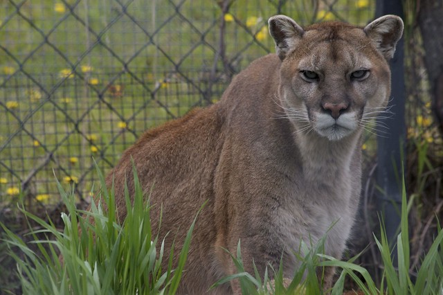 Male Version Of Cougar