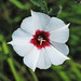 Texas bindweed - Photo (c) Jerry Oldenettel, some rights reserved (CC BY-NC-SA)