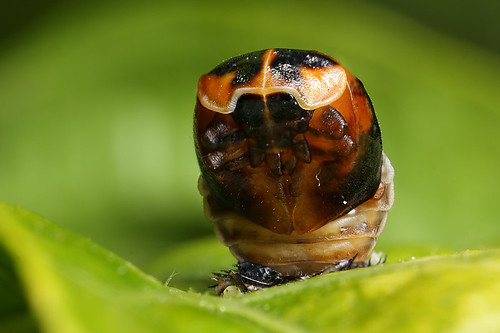 Harlequin ladybird pupa in up position