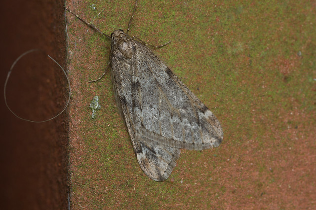 108: March Moth