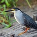 Striated Heron - Photo (c) Arno Meintjes, some rights reserved (CC BY-NC)