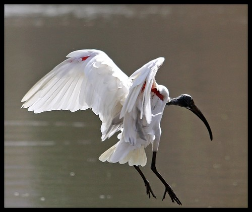 Black Headed Ibis (Threskiornis melanocephalus) landing in Ranthambore National park, India