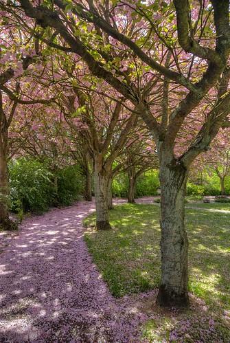 park pink cherry skåne nikon blossom sweden d200 hdr photomatix södrasandby