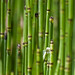 Rough Horsetail - Photo (c) Earl McGehee, some rights reserved (CC BY-NC-ND)