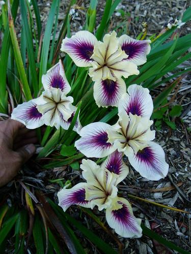 Pacific Coast Iris hybrid