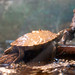 False Map Turtle - Photo (c) Jonathan Crowe, some rights reserved (CC BY-NC-ND)