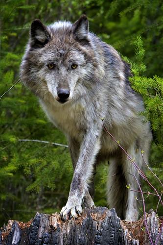 Wolf by doublejwebers