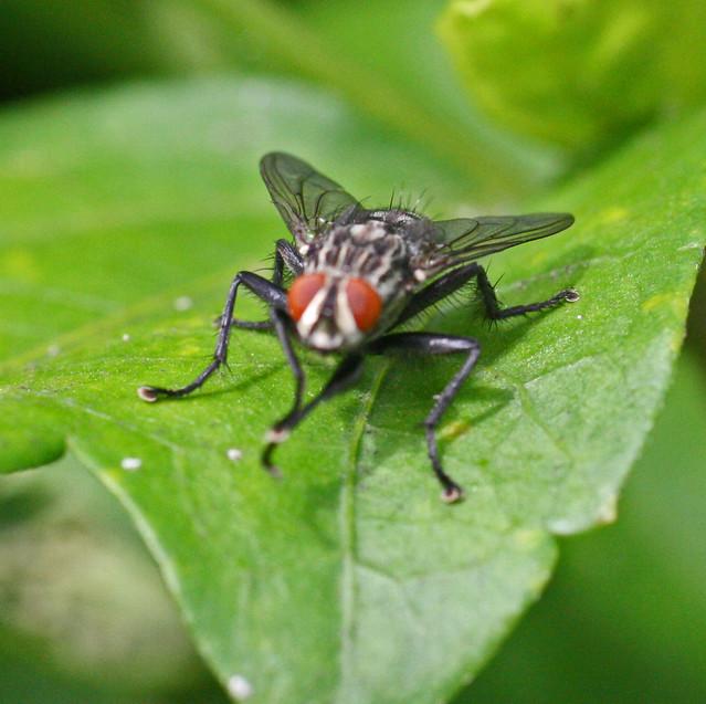 Mouche domestique flickr photo sharing - Pourquoi les mouches piquent ...