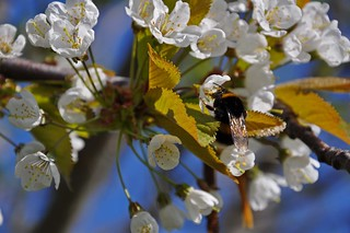 Bumble Bee in cherry tree