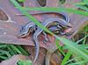 "<a href=""http://www.flickr.com/photos/jroldenettel/3345234308/"">Photo of Mabuya nebulosylvestris by Jerry Oldenettel</a>"