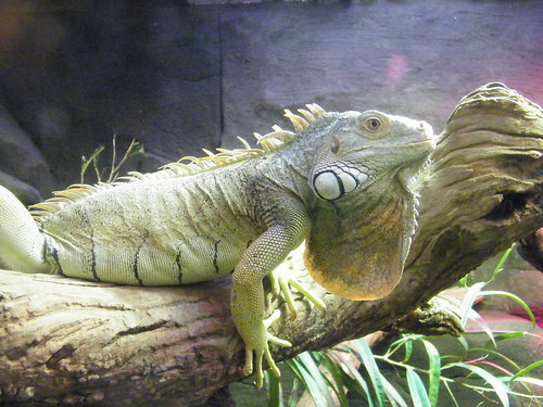 Green Iguanas As Pets
