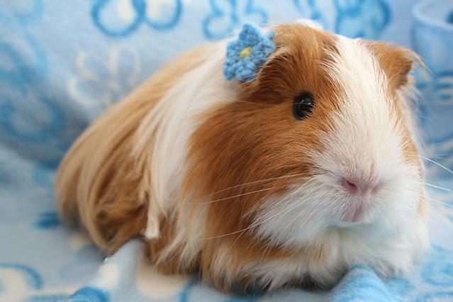 Cute names for a boy guinea pig yahoo answers auto design tech