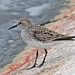 White-rumped Sandpiper - Photo (c) Jerry Oldenettel, some rights reserved (CC BY-NC-SA)