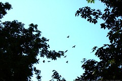 bird wars above our house    MG 4699