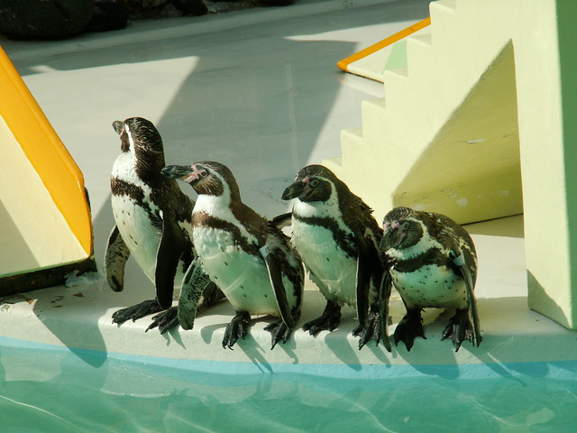 Photo:20090601 おたる水族館のペンギンショー By inugamix