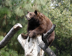 red panda(0.0), animal(1.0), mammal(1.0), grizzly bear(1.0), fauna(1.0), brown bear(1.0), bear(1.0), wildlife(1.0),