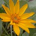 Balsamorhiza - Photo (c) Matt Lavin, some rights reserved (CC BY-SA)