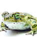 Eurasian Green Toads - Photo (c) Matt Reinbold, some rights reserved (CC BY-SA)