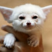 Fennec fox by floridapfe