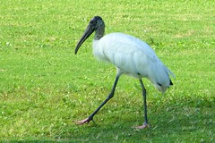 animal, fauna, ciconiiformes, heron, beak, crane-like bird, ibis, bird, wildlife,