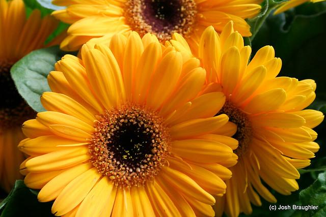 Yellow Gerber Daisies | Flickr - Photo Sharing!
