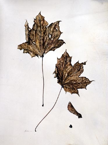 Kate Nessler, Acer platinoides 'Schwedleri' Watercolor © Copyright Brooklyn Botanic Garden