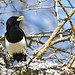 Profile of a Yellowbilled Magpie