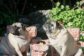 Sunnin' Pugs