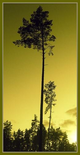 trees sunset mist nature pine forest evening lithuania lietuva scotchpine bej abigfave platinumphoto janaleo ultimateshot flickraward theunforgettablepictures theunforgettablepicture ubej dragondaggerphoto limajulija fujifilmfinpixs1000fd