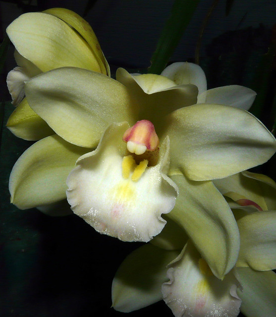 Cymbidium (Beau Guest x Fair Delight) hybrid orchid (1st bloom 2-09) 3-09*