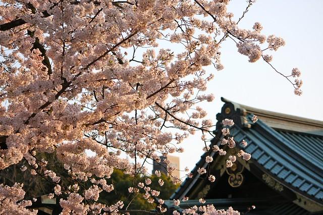 桜@靖国神社