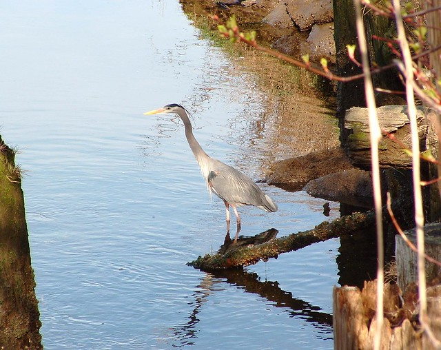 Great Blue Heron @ Padden