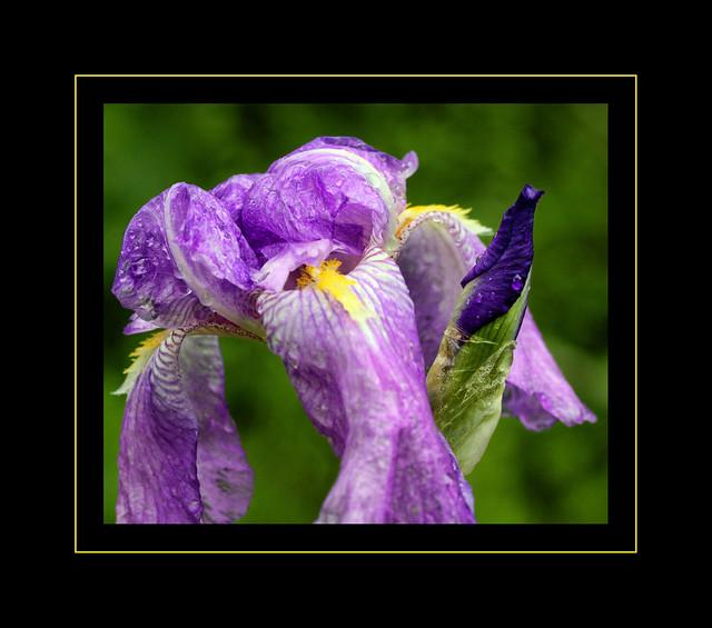 Wild Iris Close Up