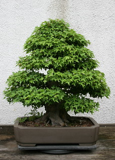 Trident Maple (Acer buergerianum)