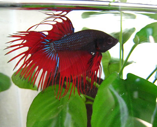 Our blue and red betta